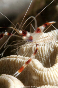 Redbanded Coral Shrimp by Rene Oude Avenhuis 